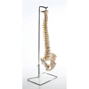 Flexible Vertebral Column Pelvis